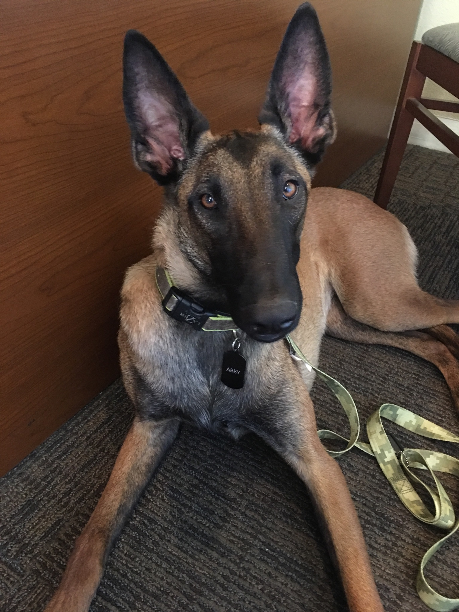 Abby- 1 year old female Belgian Malinois