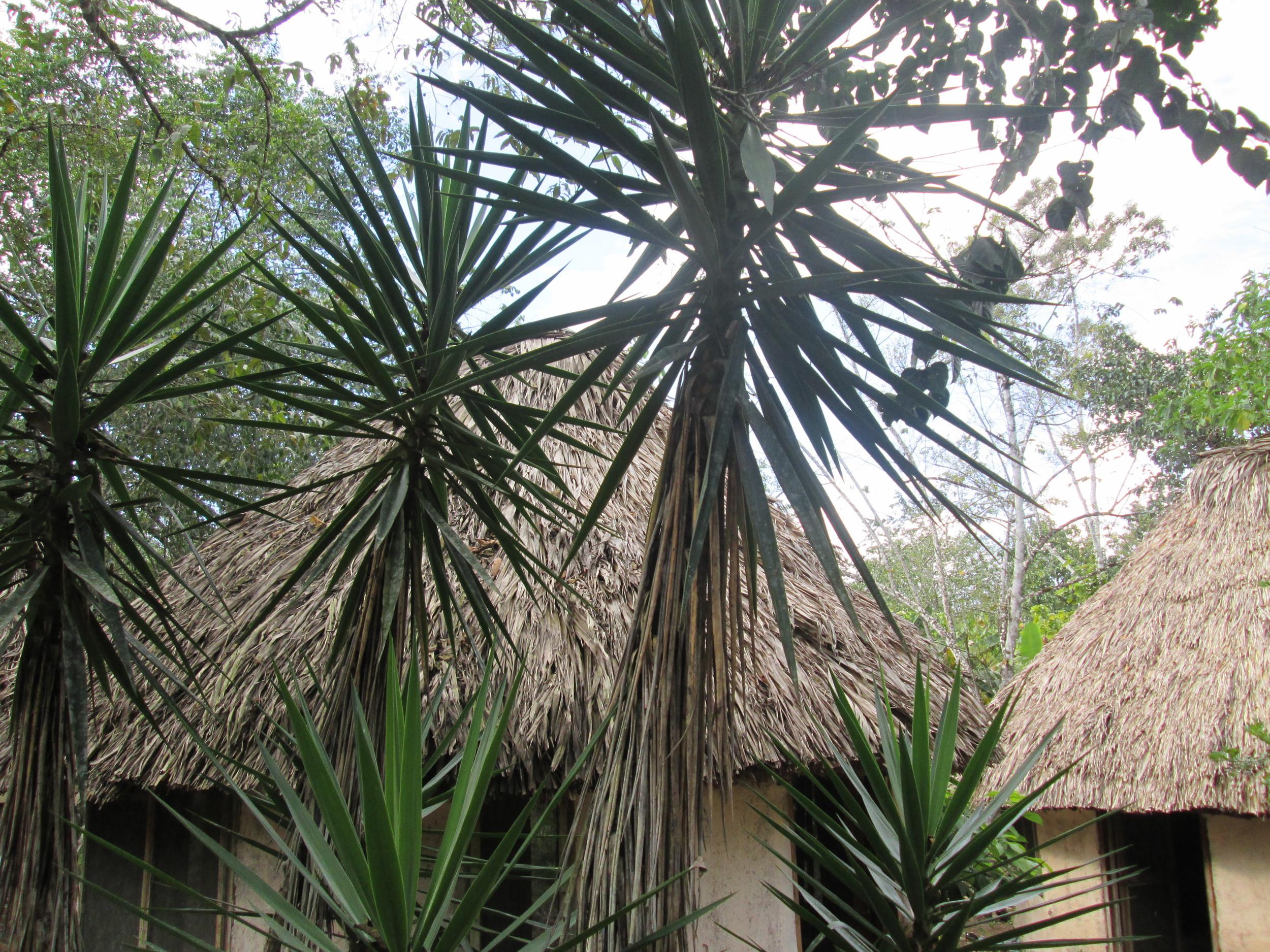 Cabans palms.JPG