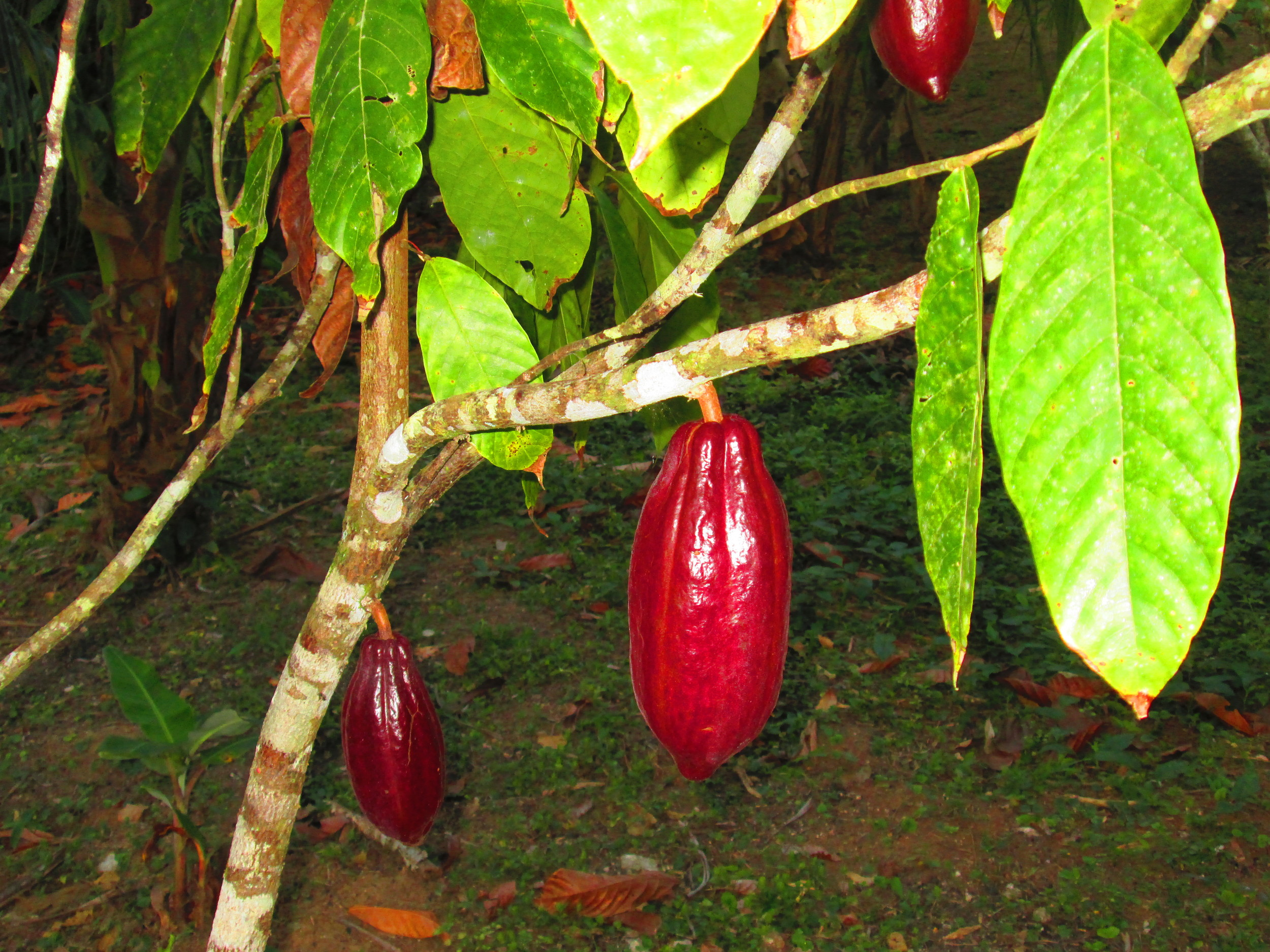 Cacao chocalate plant.JPG