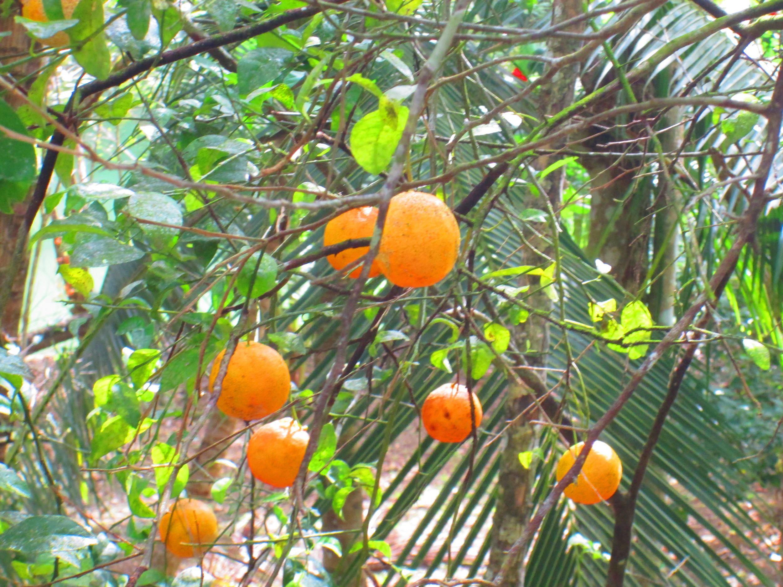 Jamaican Limes.JPG