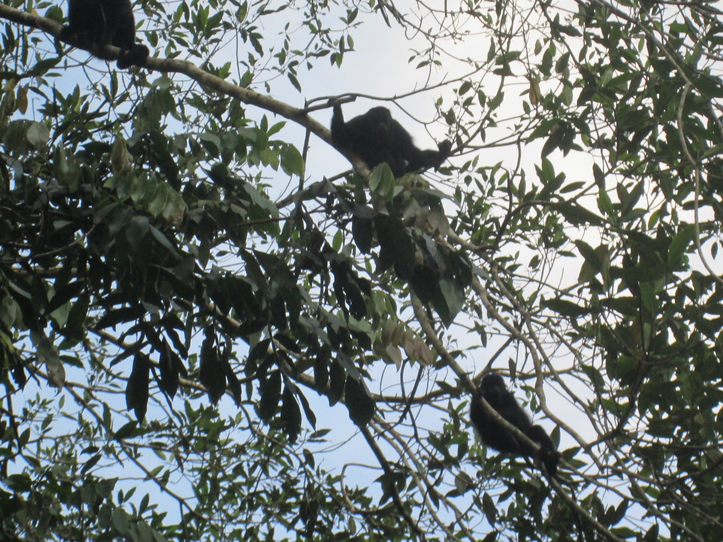Howler Monkeys three.JPG