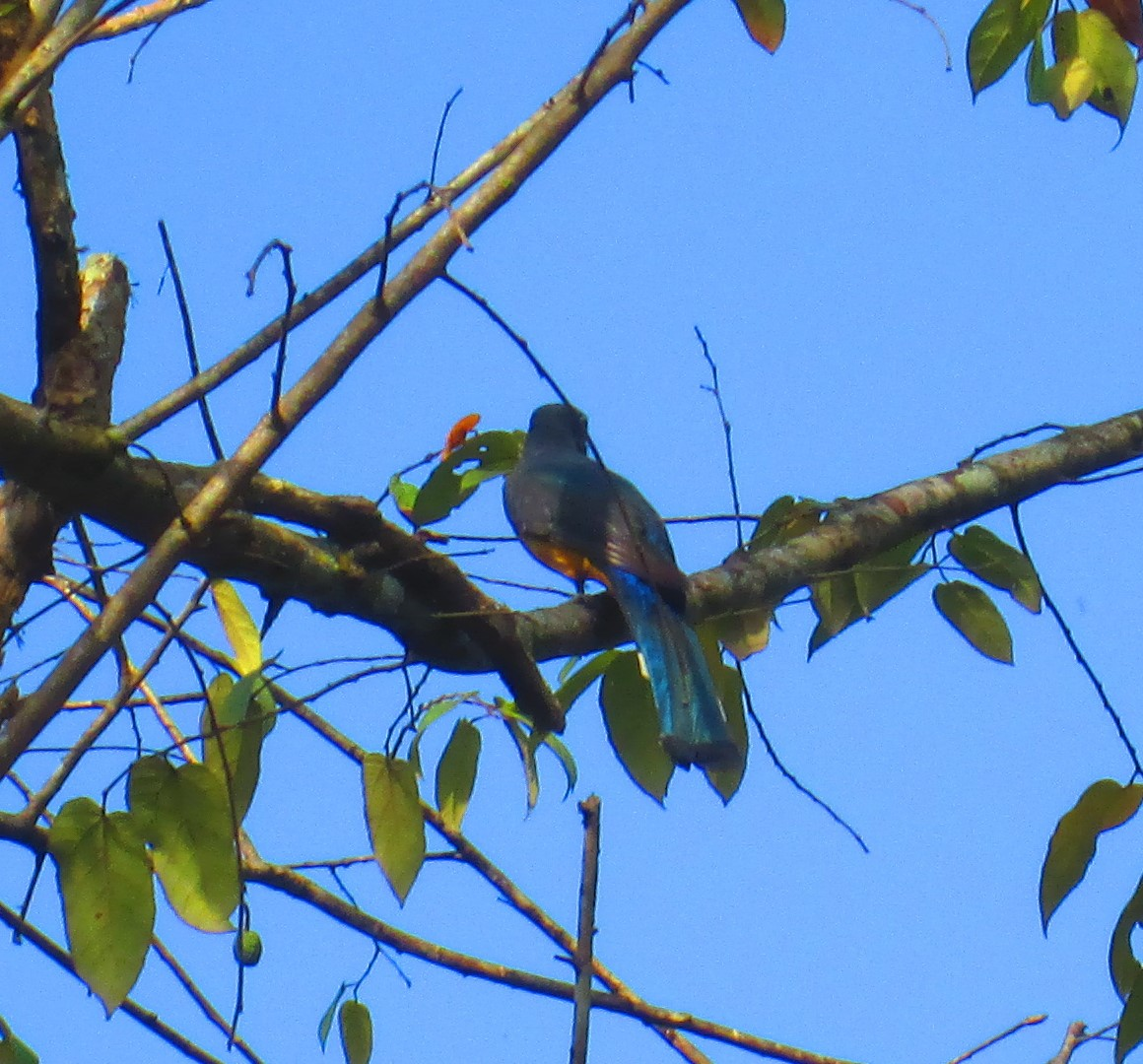 Bird blue tail.JPG