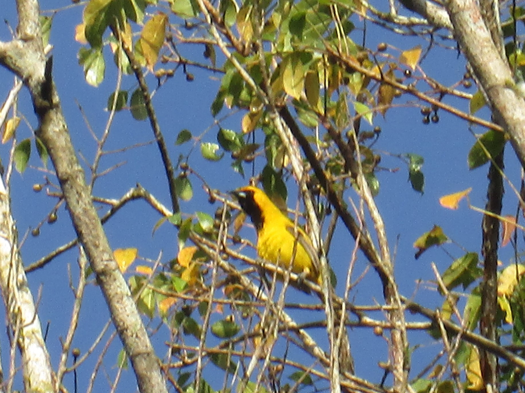 Yellow Black Bird.JPG