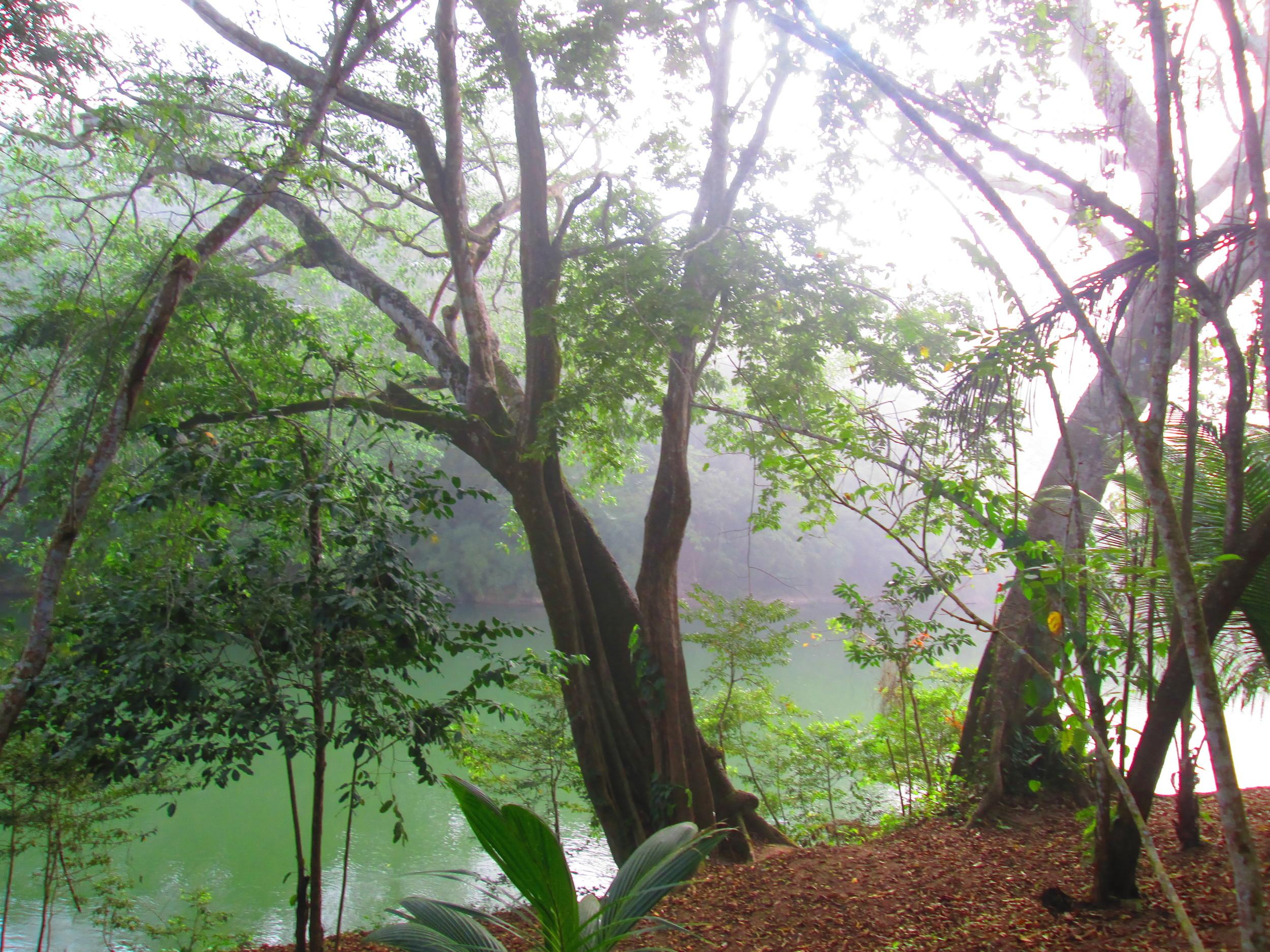 Belize River Bank Big Trees.JPG