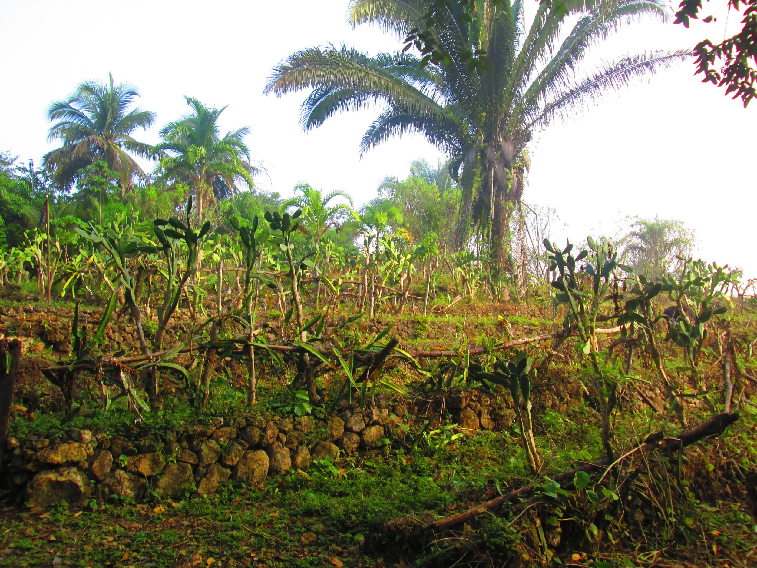 Pitaya and prickly pear gardens.JPG