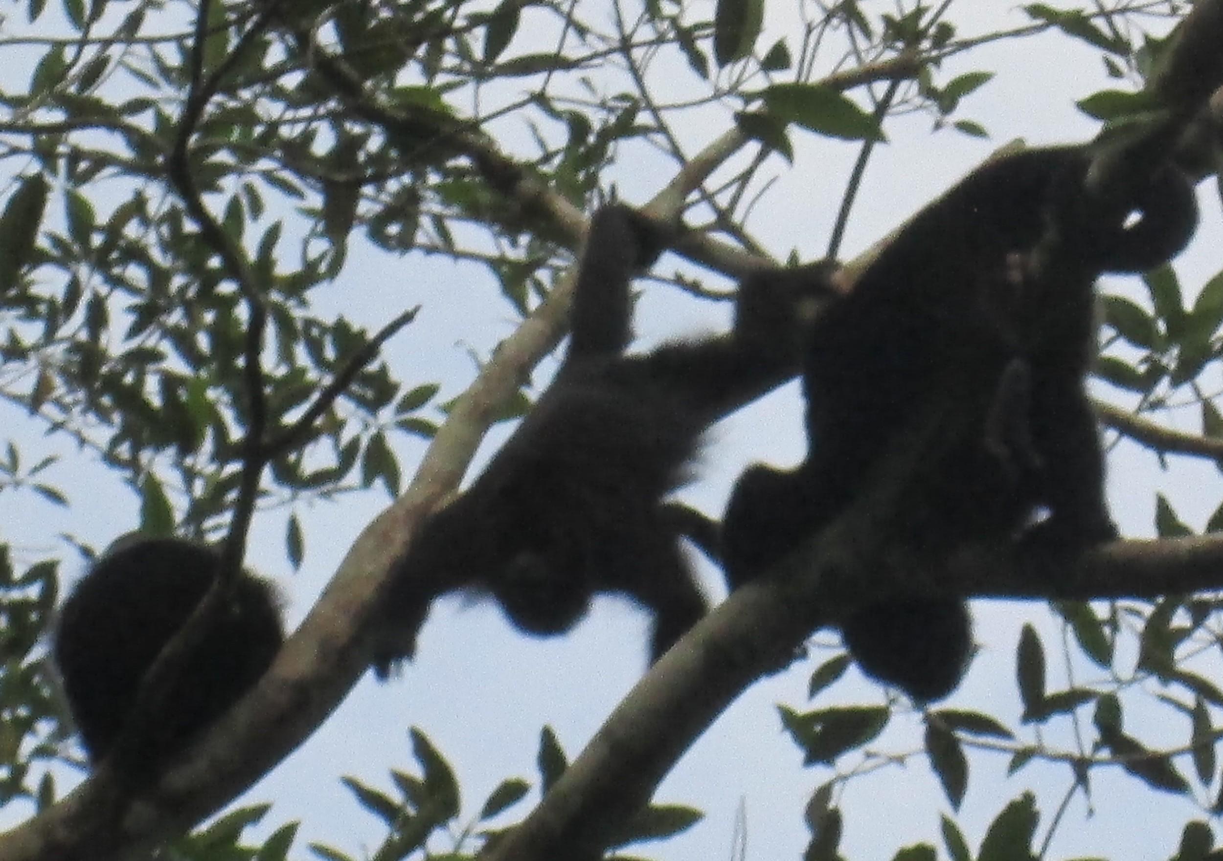 Howler Monkeys.JPG