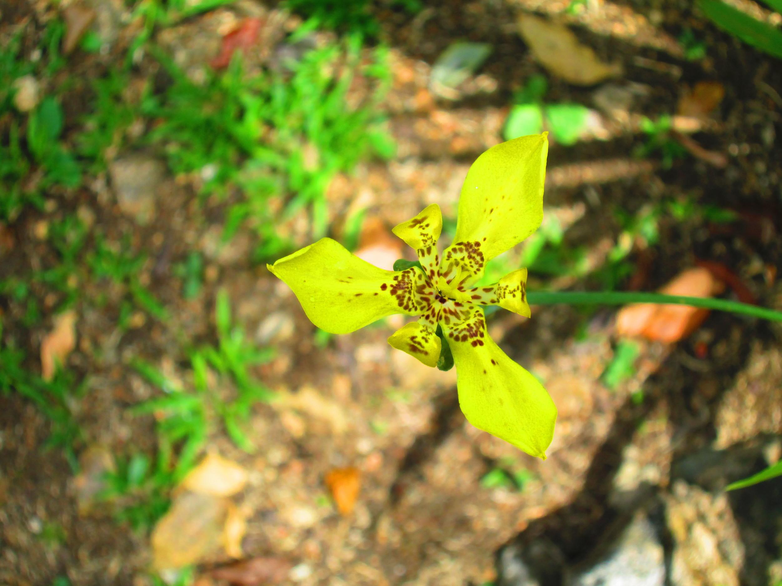 Yellow Orchid.JPG