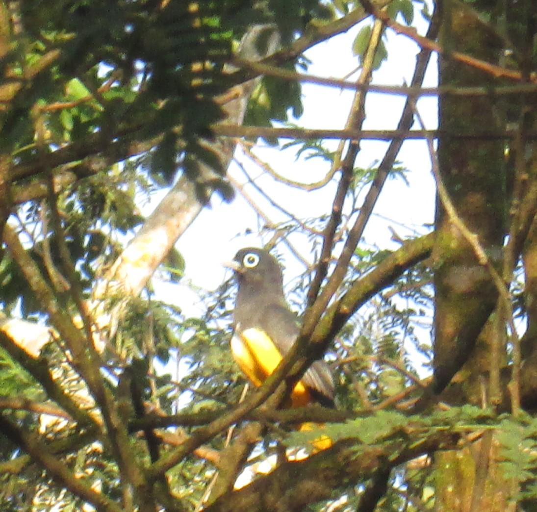 Yellow Bird big eye.JPG