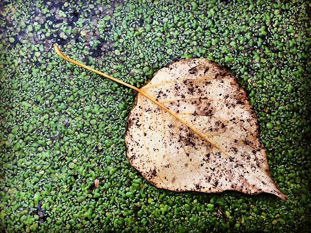#discoverypark leaf in a swampy pond #natureisbeautiful #getoutside #seattle #pnw #naturephotography #nature_up_close #takeahike