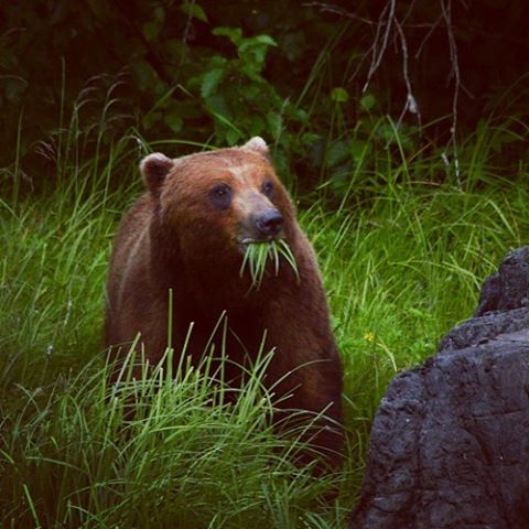 A #brownbear in #alaska #getoutside #wildalaska #natureisbeautiful #grizzlybear #bear #lindbladexpeditions