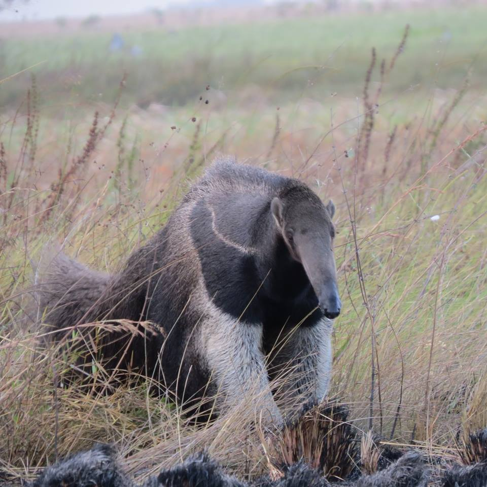 anteater close up.jpg