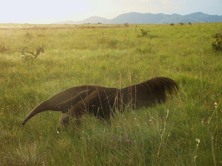 giant anteater in savannah (1).jpg