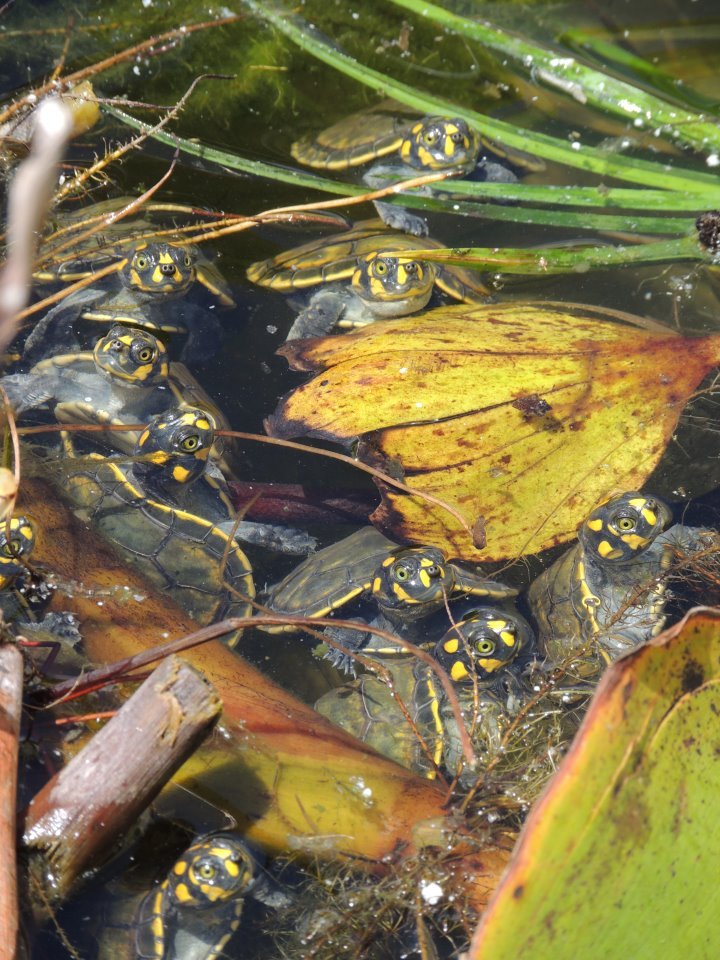 lotsa turtles.jpg