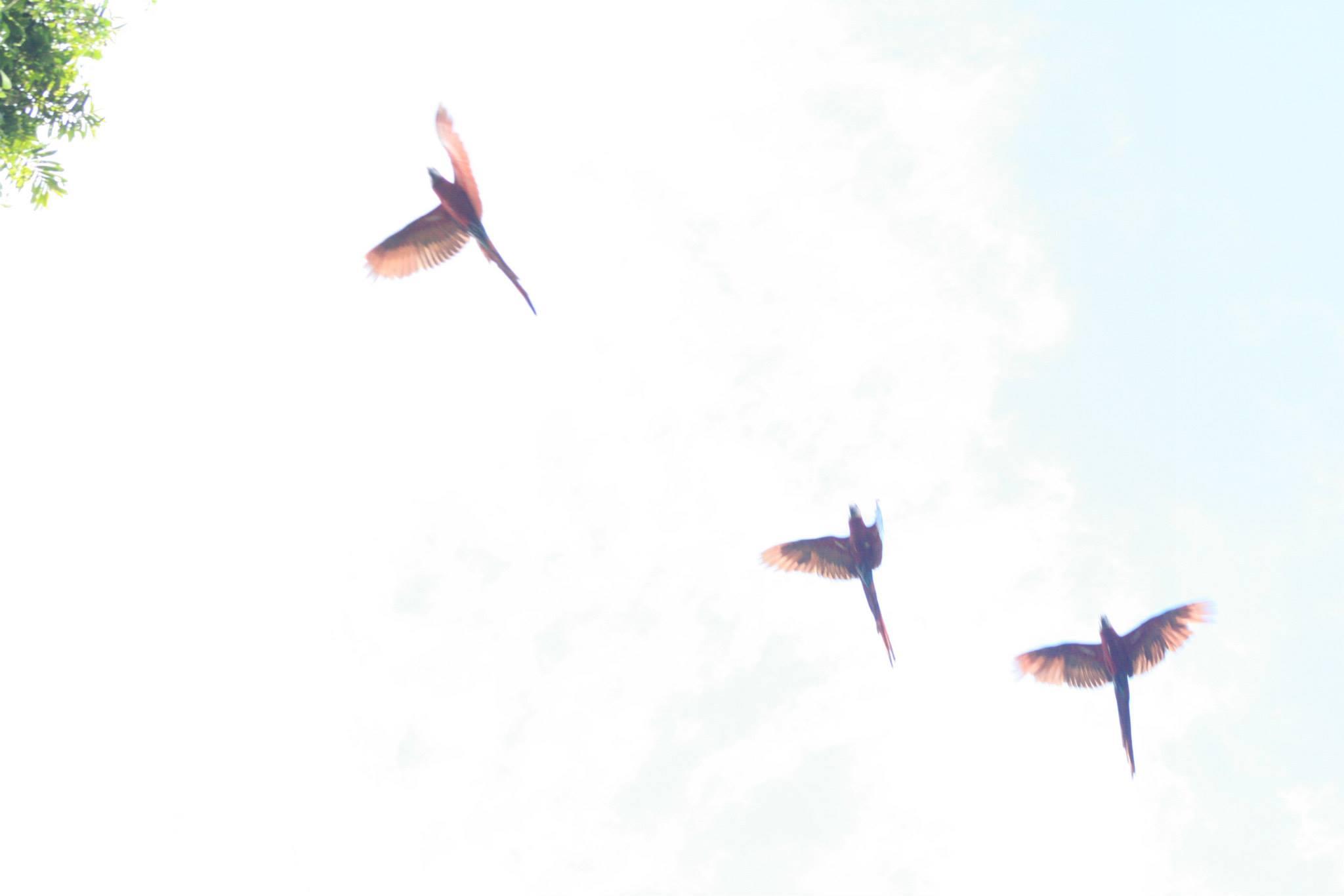 parrots in flight.jpg