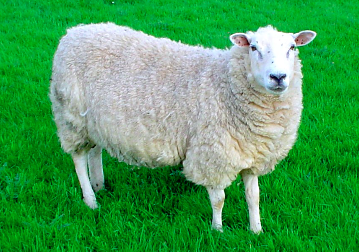Sheep Farming On Line Videos