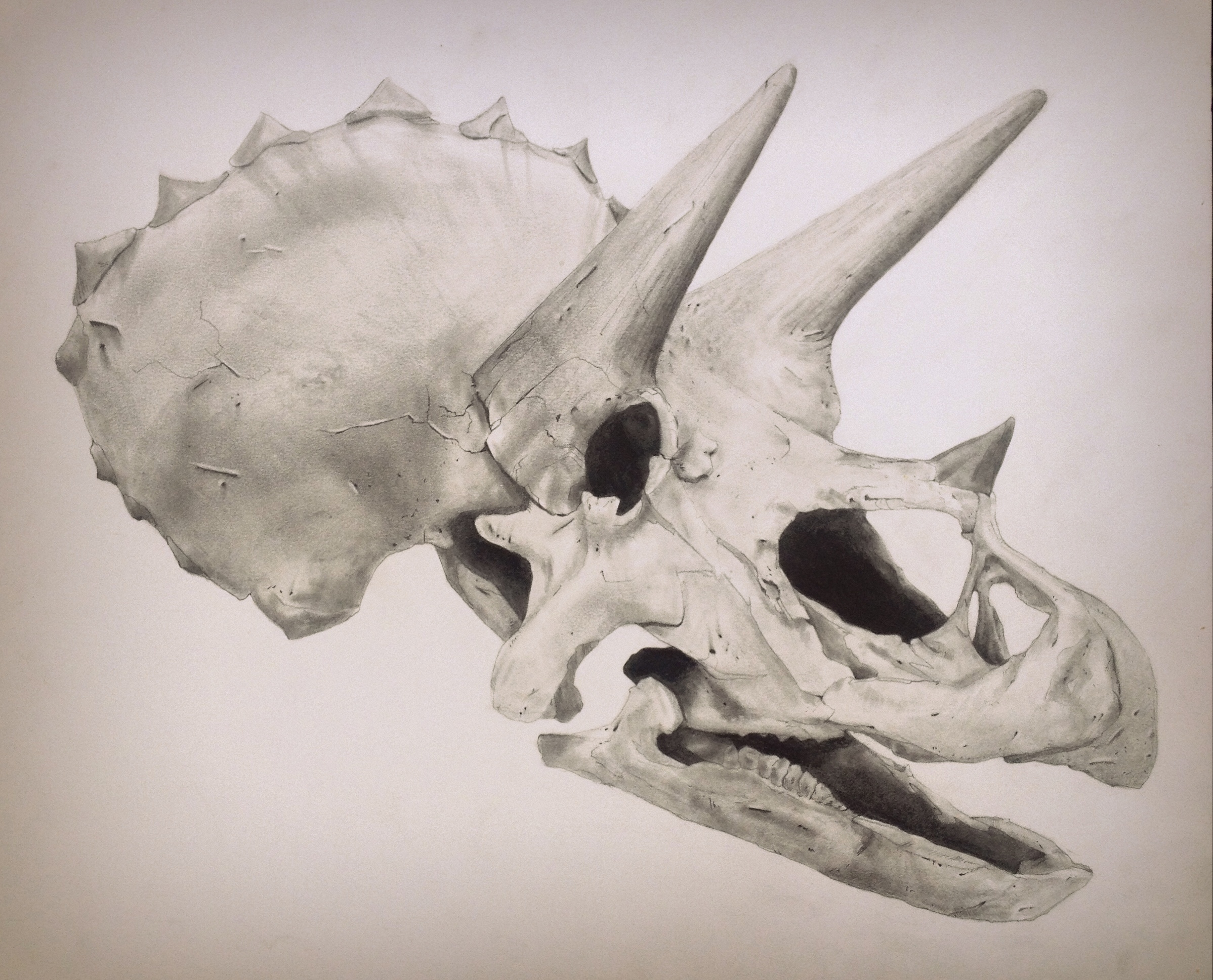 Triceratops.  Graphite on paper.