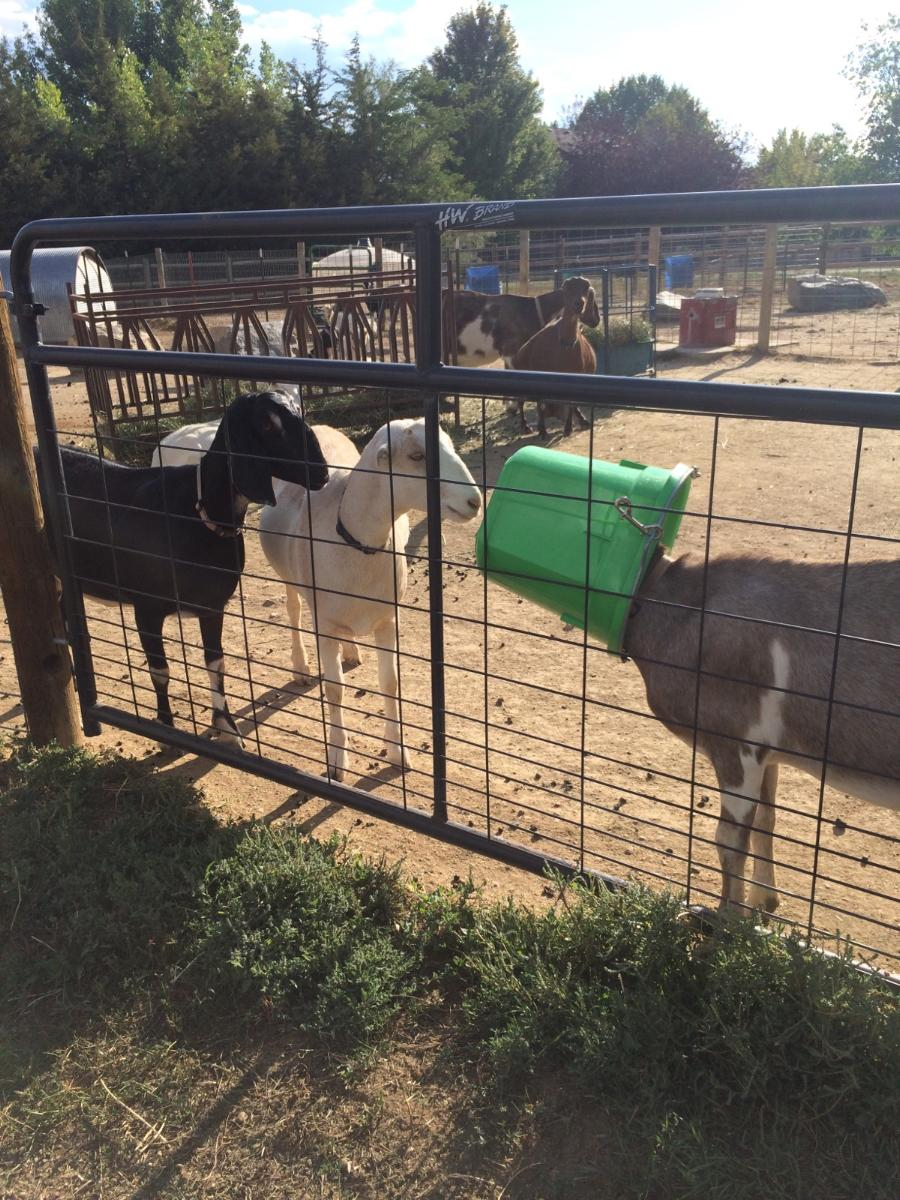 CAPERING GOAT DAIRY, LLC— Capering Goat Dairy's blog about