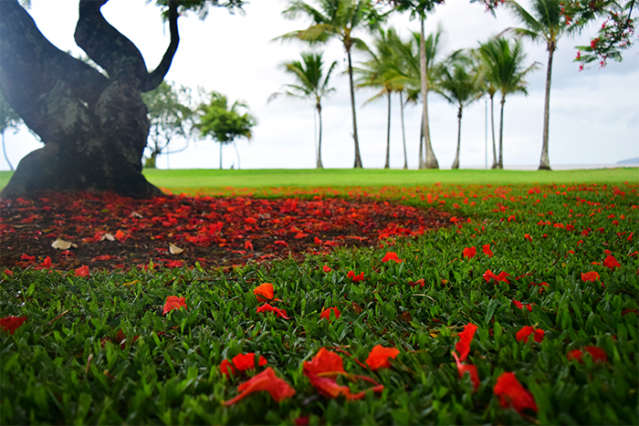 Fallen flower petals from the Red Poinciana, looking out over the Esplanade.