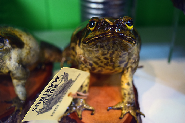 A sad little taxidermy cane toad in the Night Markets.