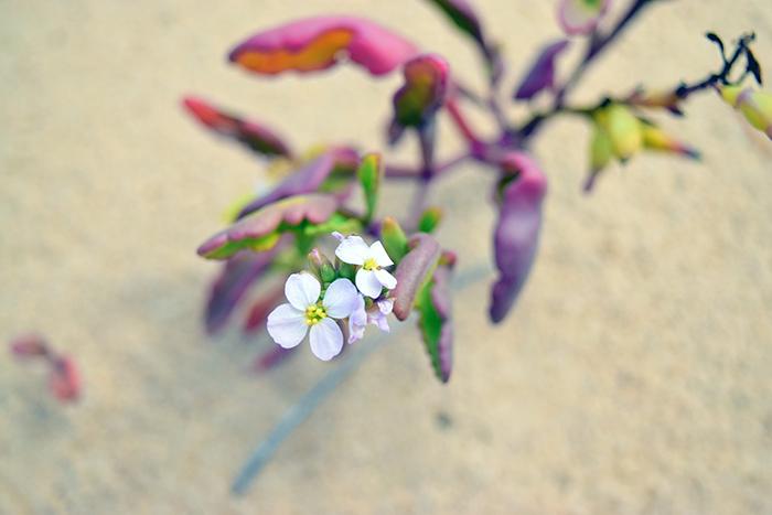 A beach flower, not sure the species.