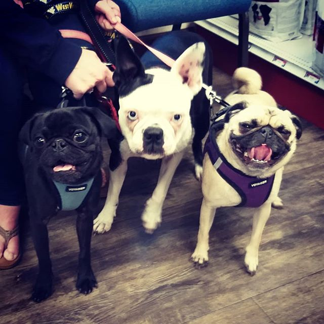 The pug pack #pug #pugsofinstagram #bostonterrier #veterinarylife #veterinarycare #veterinaryreceptionist