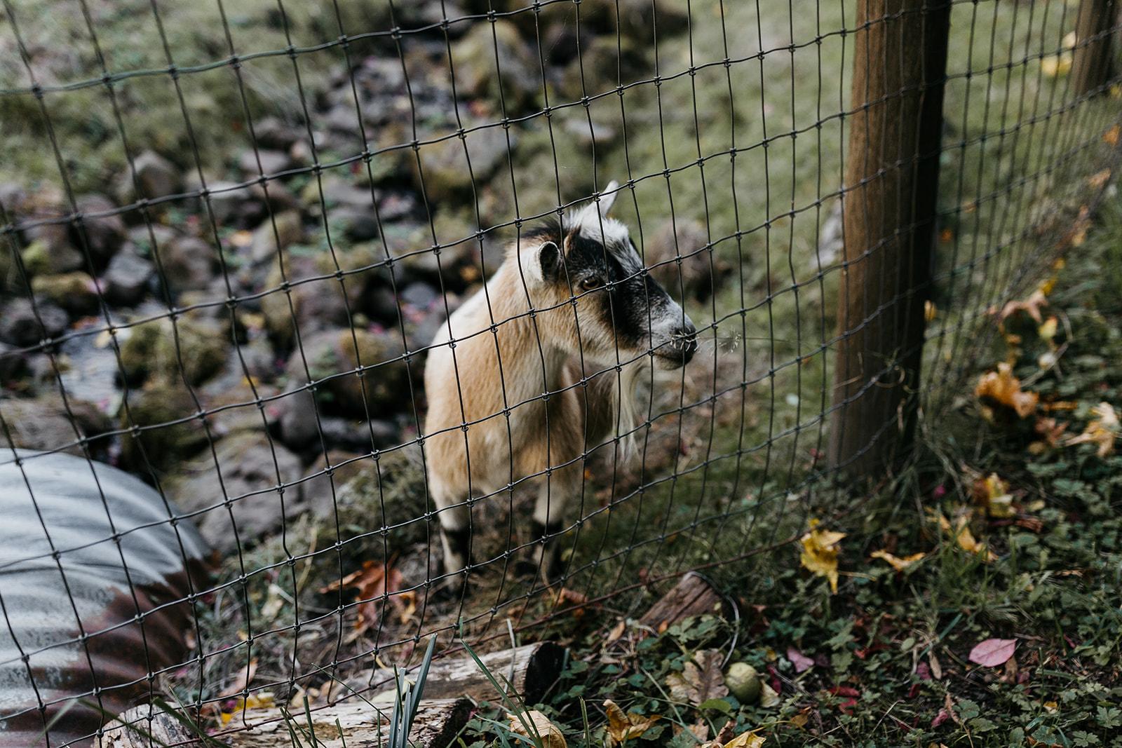 Limpy the goat.  Photo by Alyssa Elliott.