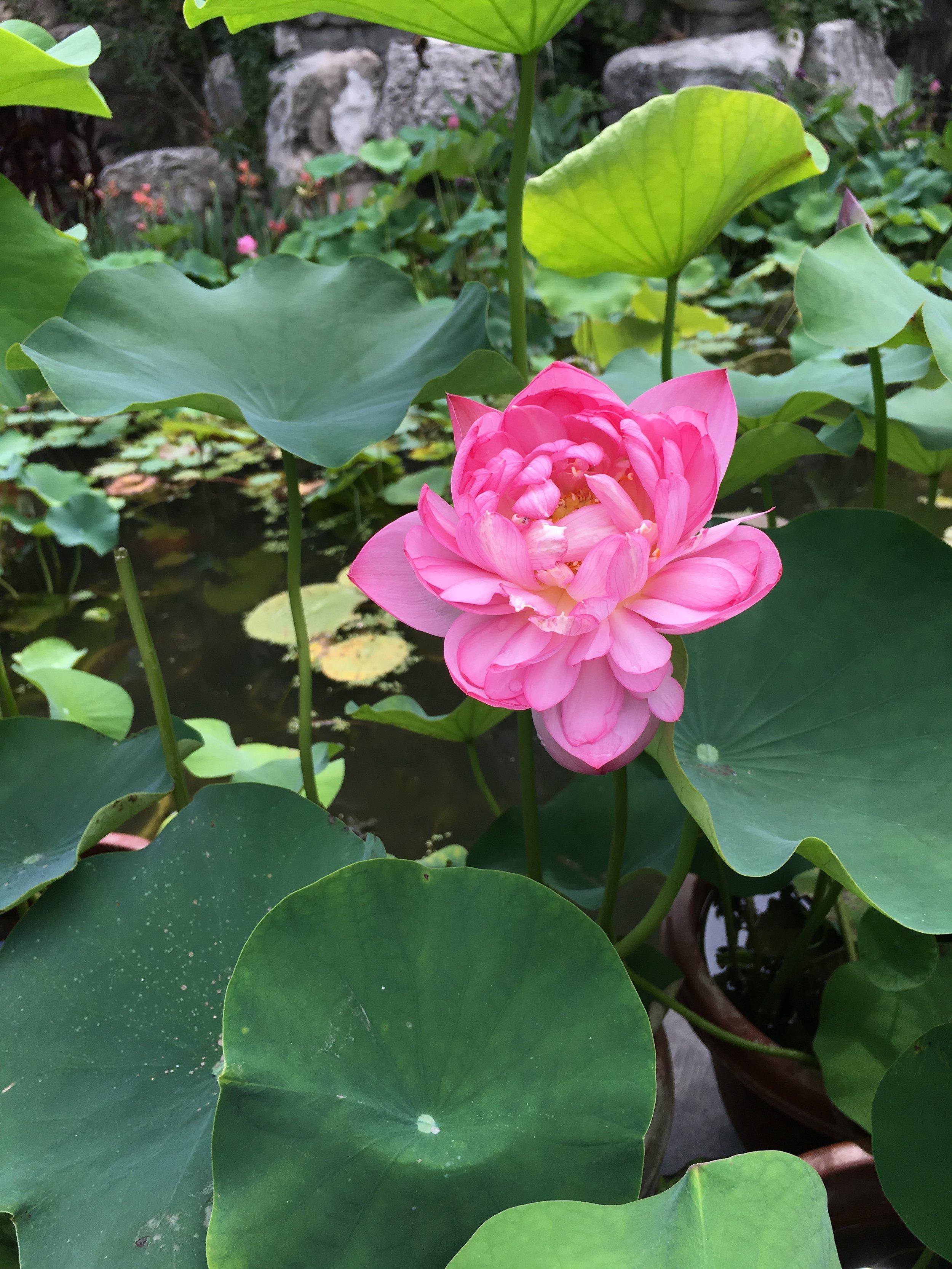 Chengdu - Hibiscus, the city flower.