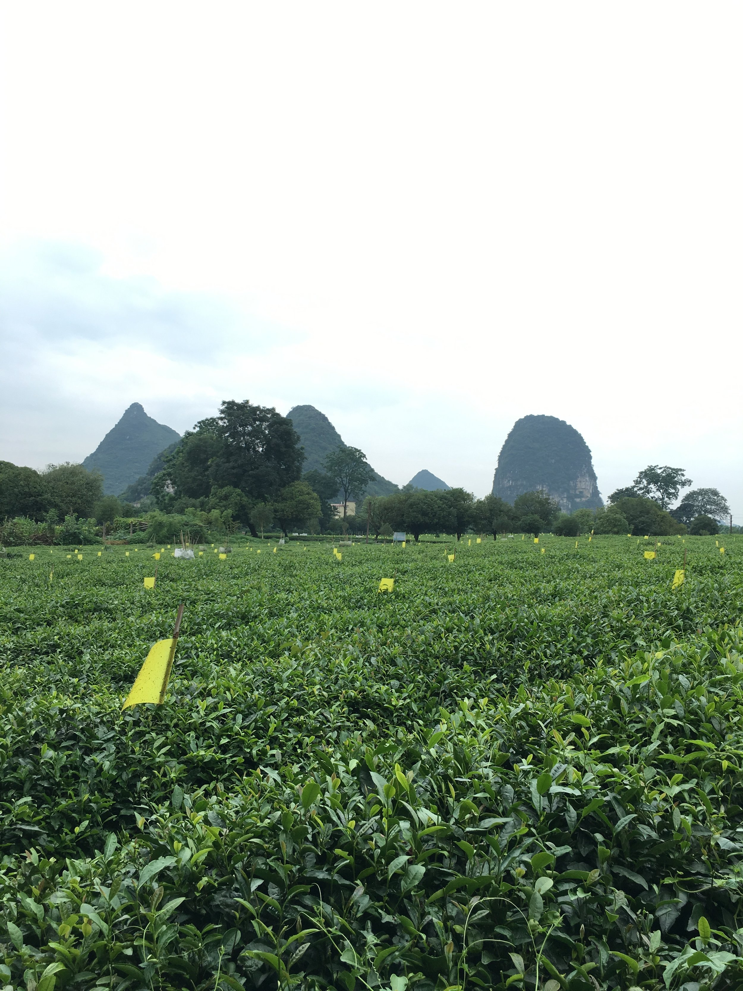 Guilin - Guilin Tea Research Institute, the only organic tea farm in the Guanxi Province. Majestic limestone mountains in the background.