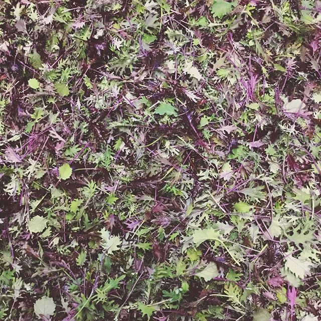 All new burgundy baby kale mix 👩🌾👨🌾🌱🎯 . #spokane #flavorbeautyhealth #deeporganicfarming #kitchenfarm #handshakelocal #iamlocalfood #babykale #neverstopimproving #gourmet #specialtyproduce #farmersmarket #spokanesmallbusiness #localfood #realfood #healthyfood #eatlocal #buylocal #localfarm #smallfarm #organicfarm