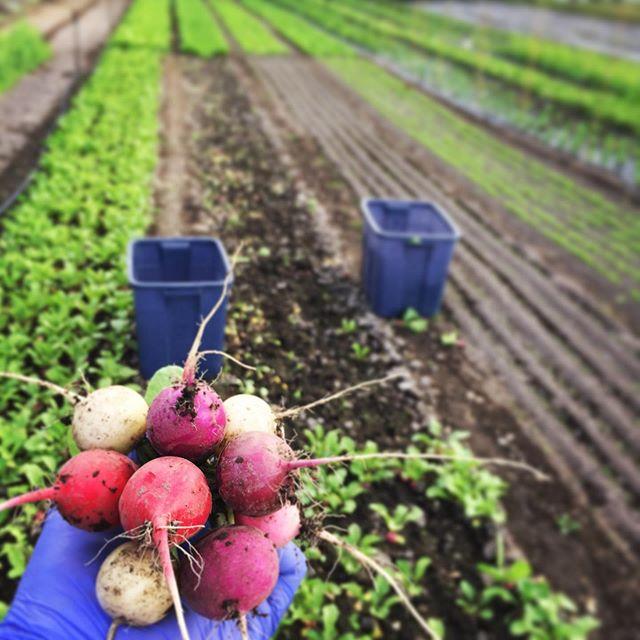 Garden Lollipops 🍭 . #spokane #flavorbeautyhealth #deeporganicfarming #kitchenfarm #handshakelocal #iamlocalfood