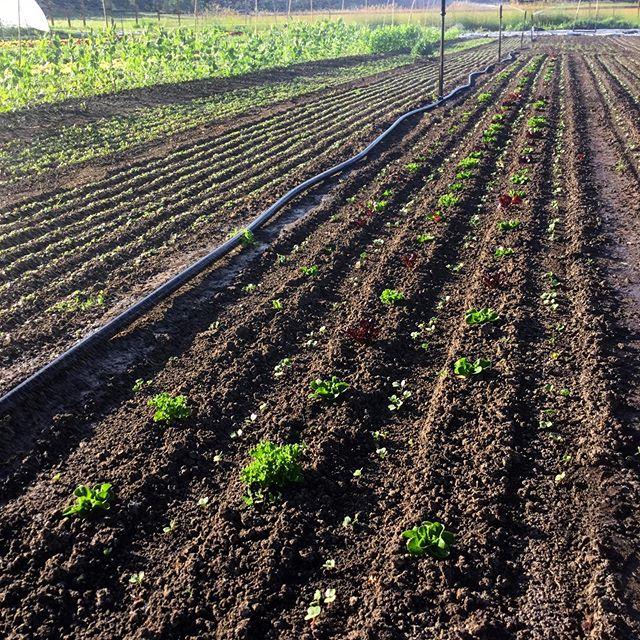 Direct seeded Salanova Lettuce interplanted with Easter Egg Radish. . #spokane #flavorbeautyhealth #deeporganicfarming #kitchenfarm #handshakelocal #handtoolsonly #salanovalettuce #radish #iamlocalfood #twopersonfarm