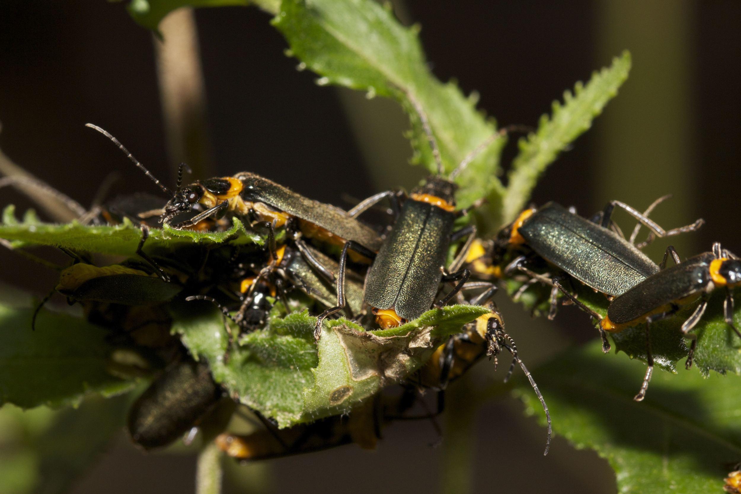 Clusters of beetles