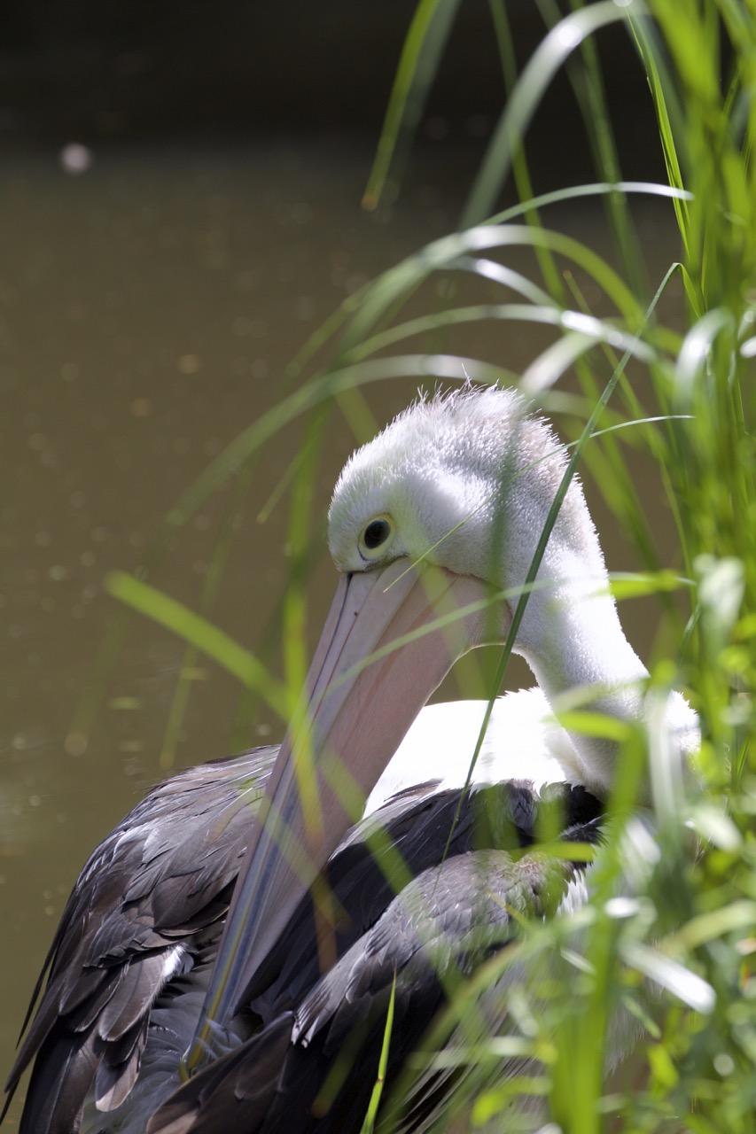 Australian Pelican @ Melb Zoo