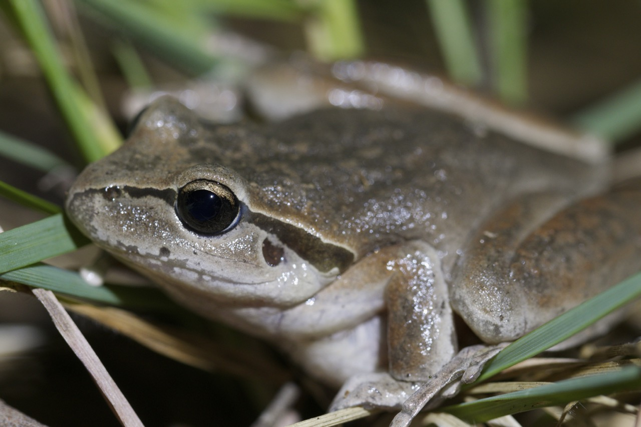 Lesueur's Frog (female?)