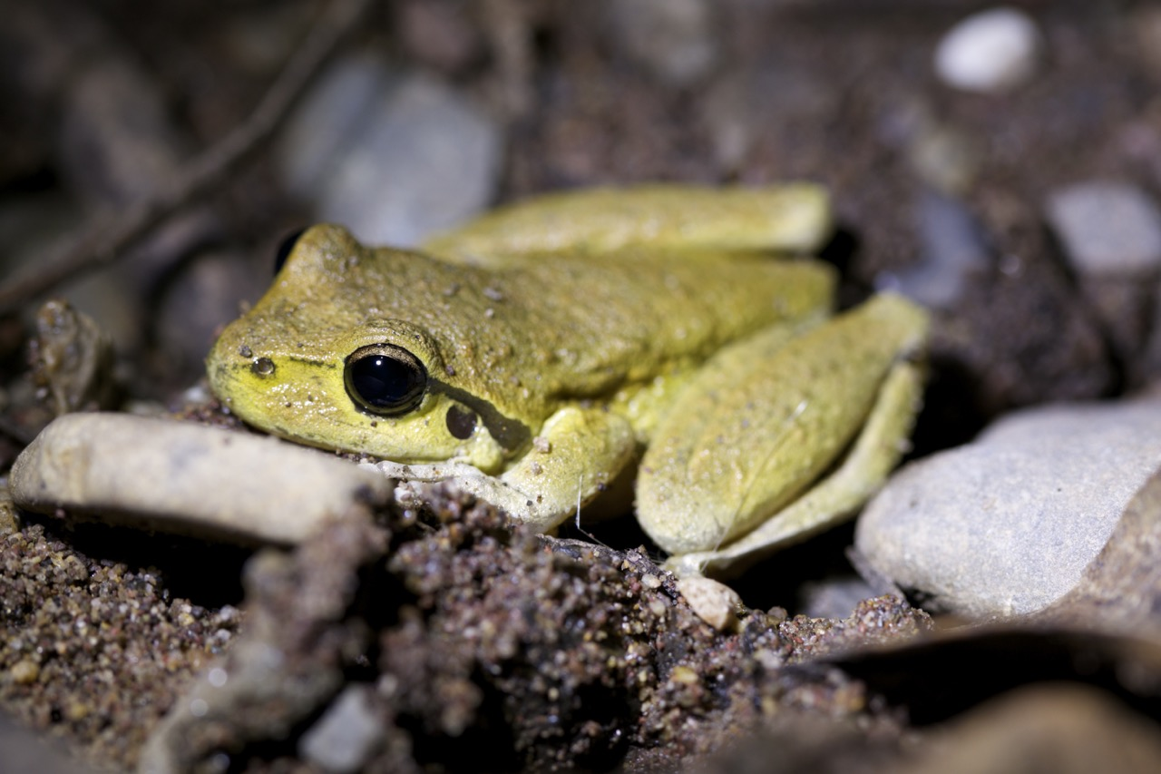 Lesueur's Frog (breeding male?)
