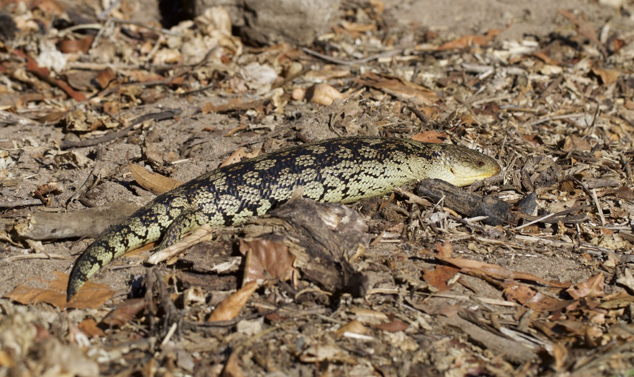 Blotched Blue-tongue Lizard