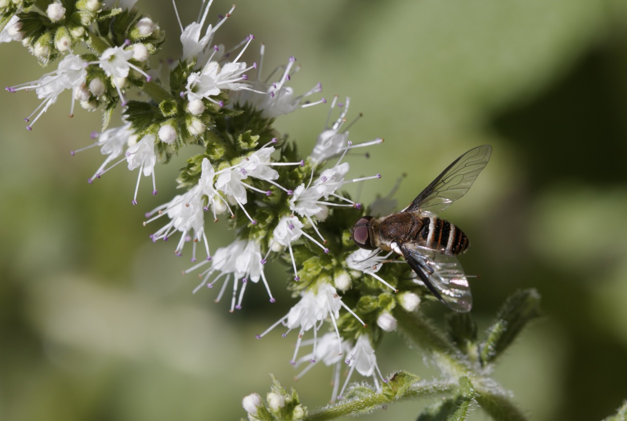Bee Fly on mint flowers