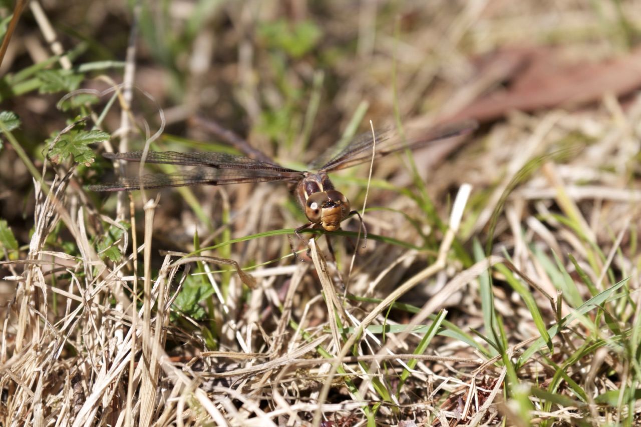 Dragonfly at Howqua