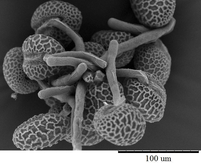 Scanning electron micrograph of lily pollen tubes