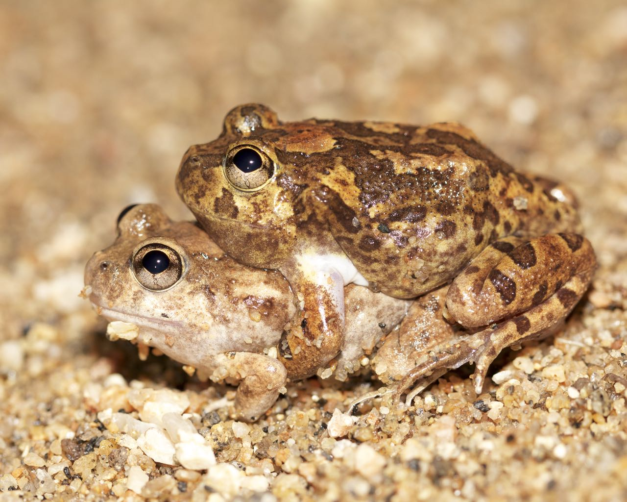 A mating pair of Spencer's Burrowing Frog, Simpsons Gap, NT
