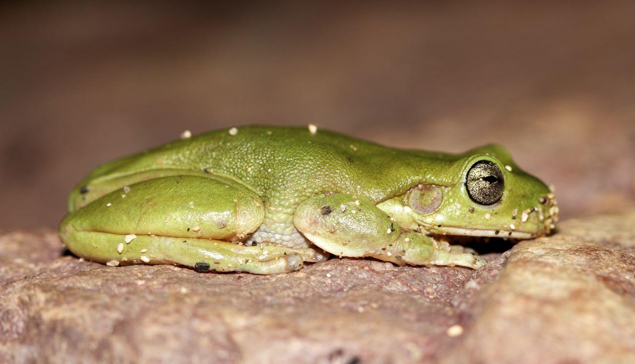 Centralian Tree Frog, Simpsons Gap, NT