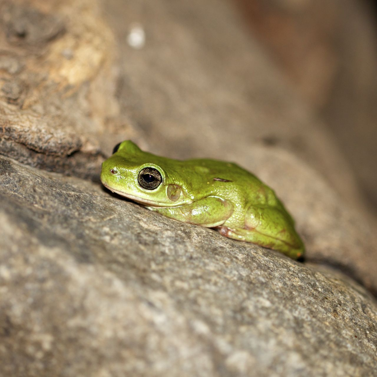 Centralian Tree Frog, Serpentine Gorge, NT