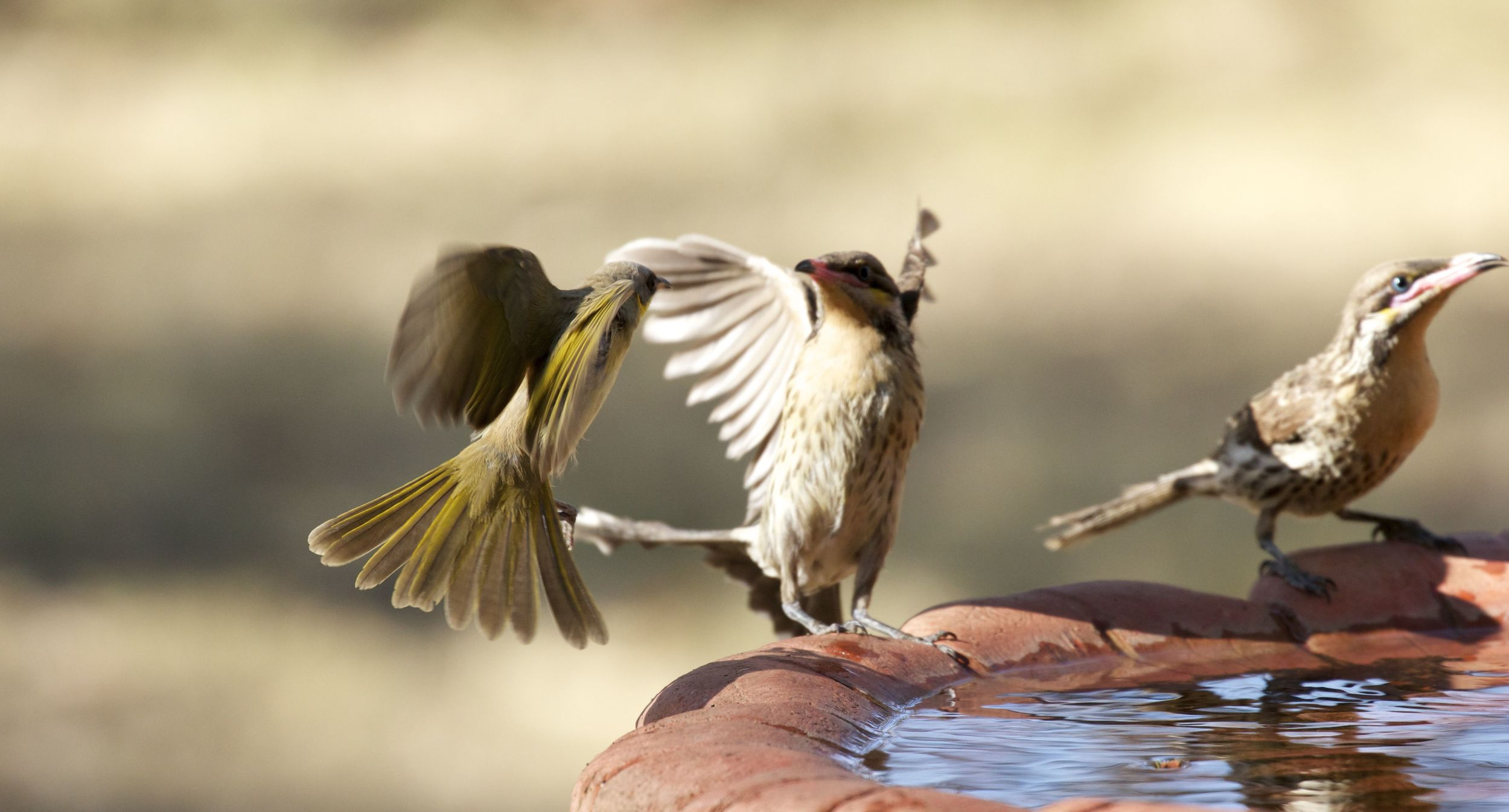 Startled honeyeaters, Alice Springs, NT