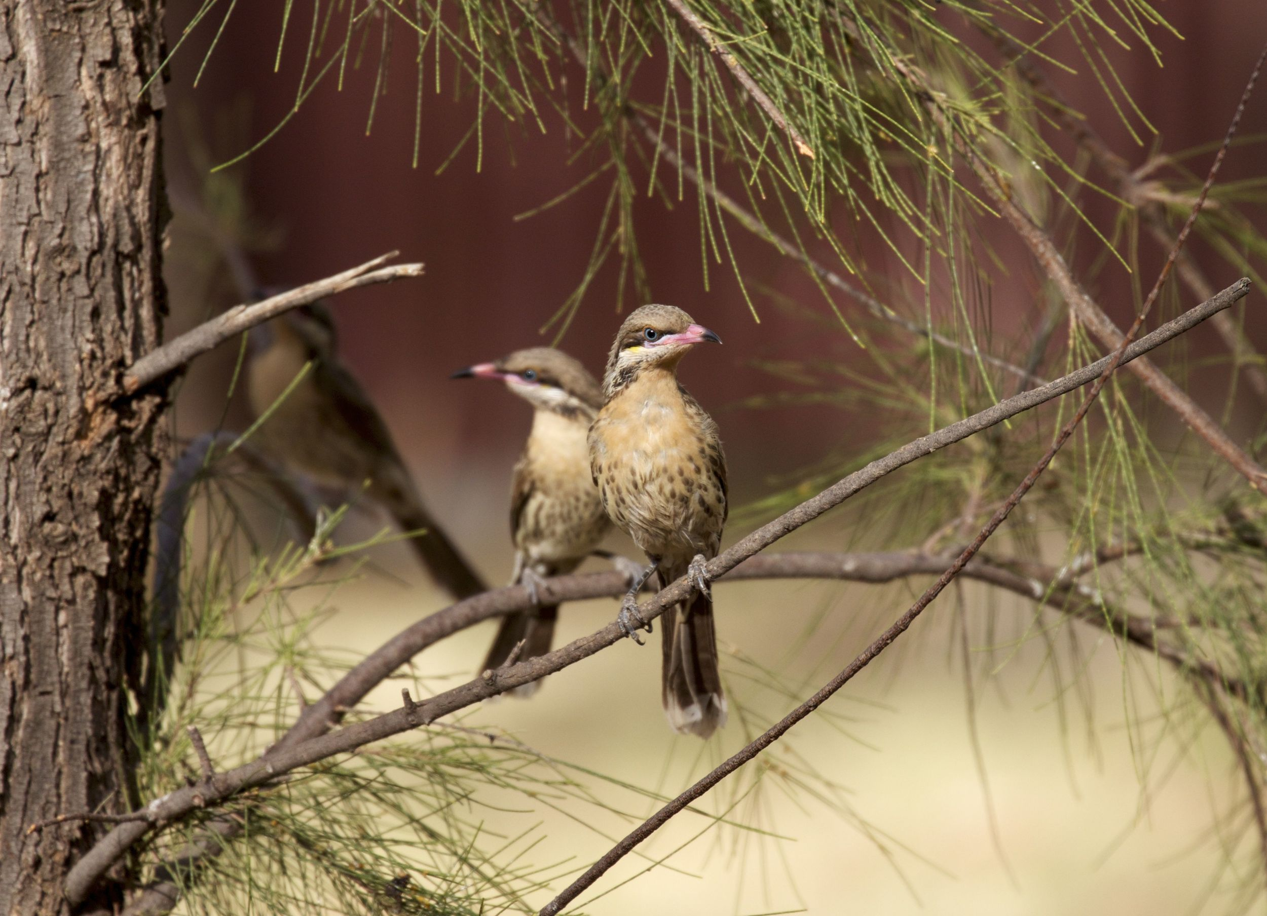 Mirror image Spiny-cheeked Honeyeaters, Alice Springs, NT