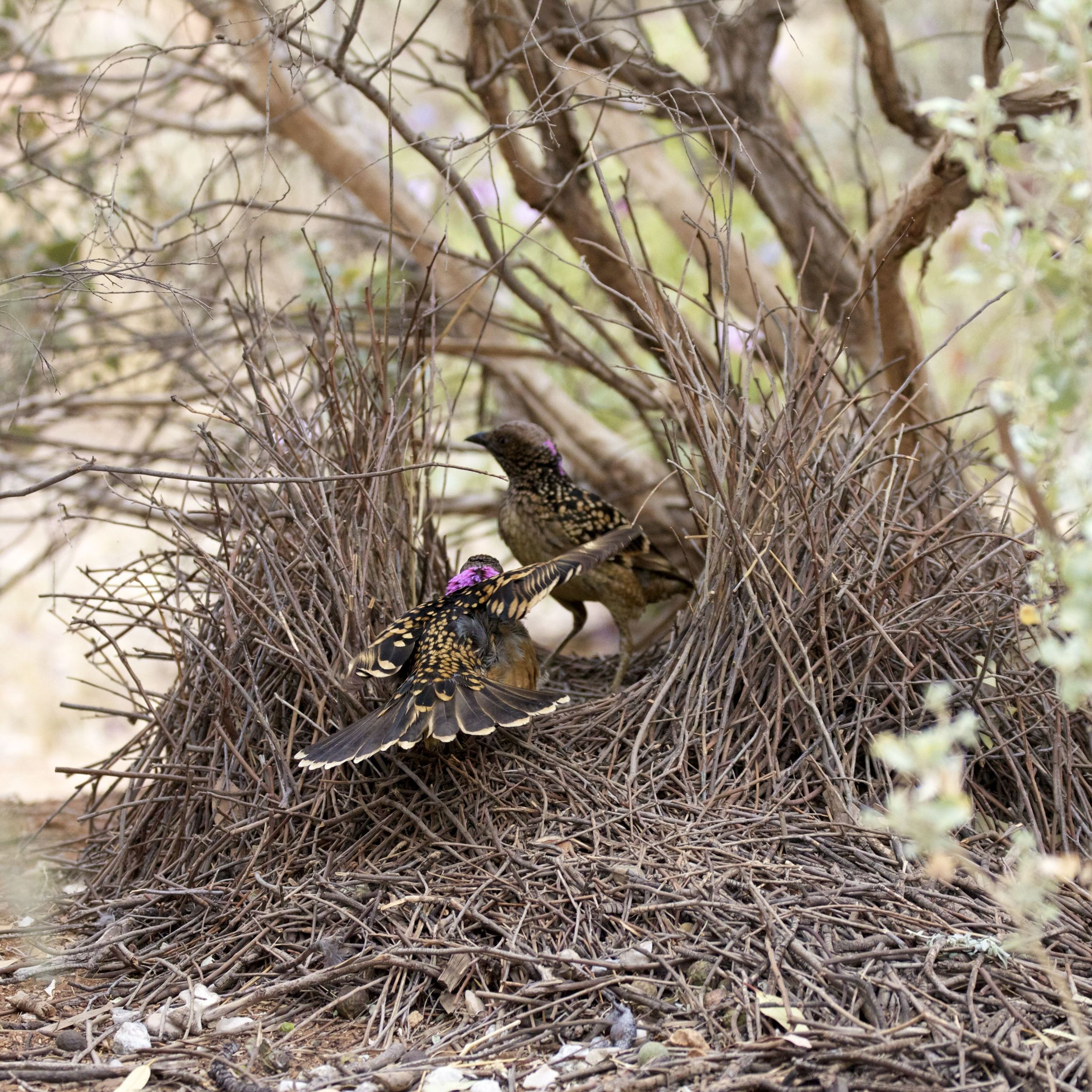 Male Western Bowerbird dancing for a female, Alice Springs, NT