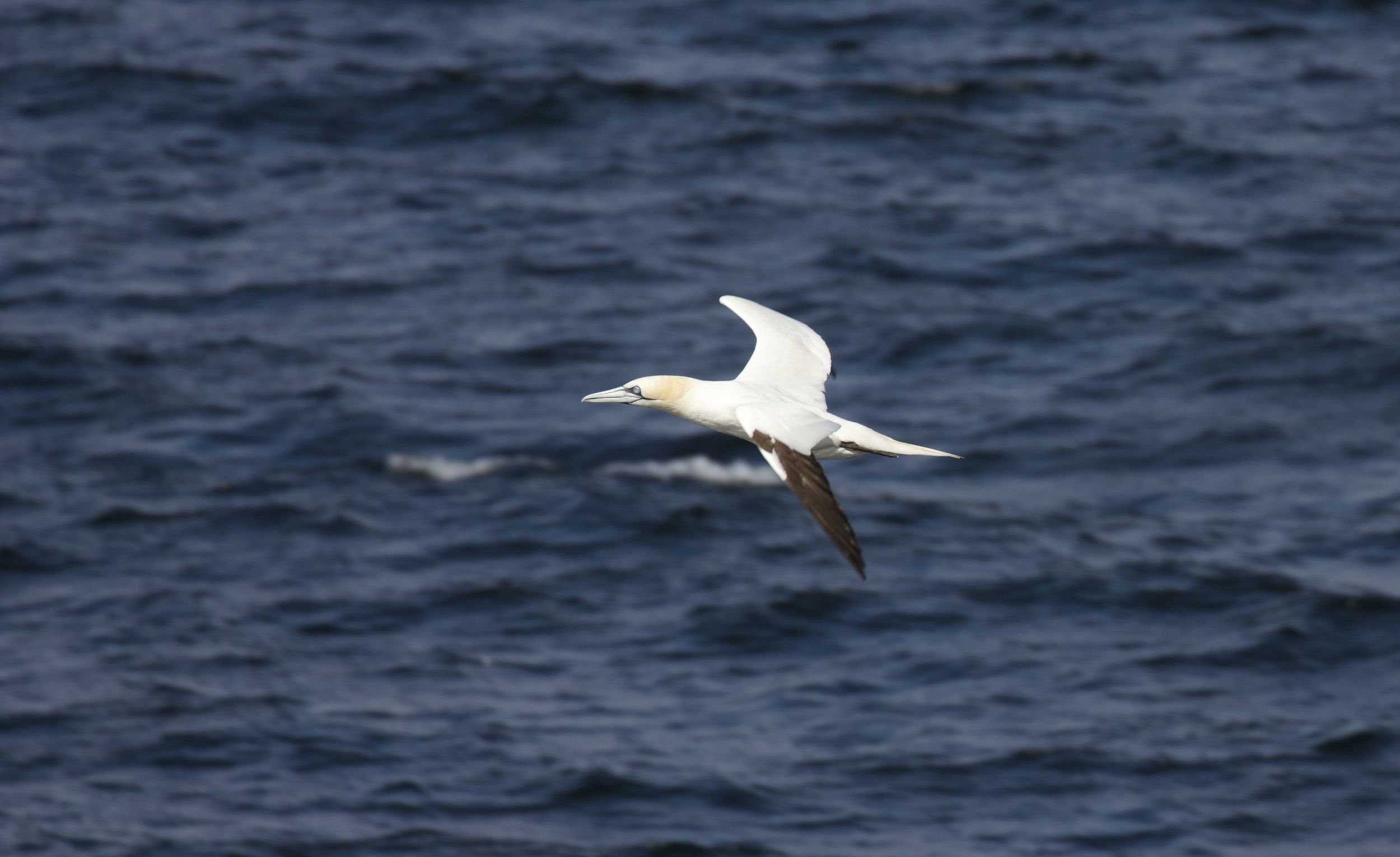 Northern Gannet, Isle of Arran, Scotland