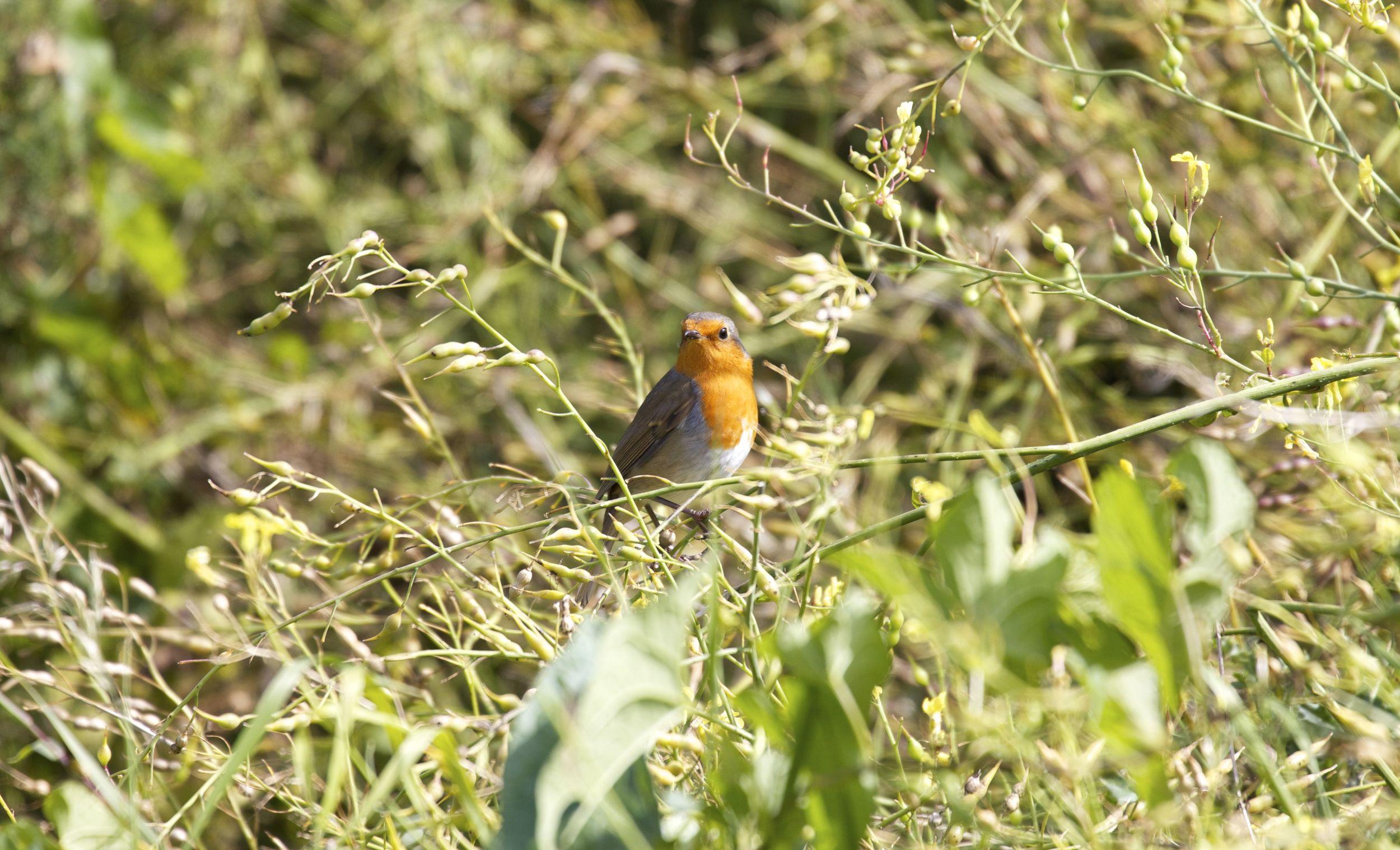 European Robin,Isle of Arran, Scotland