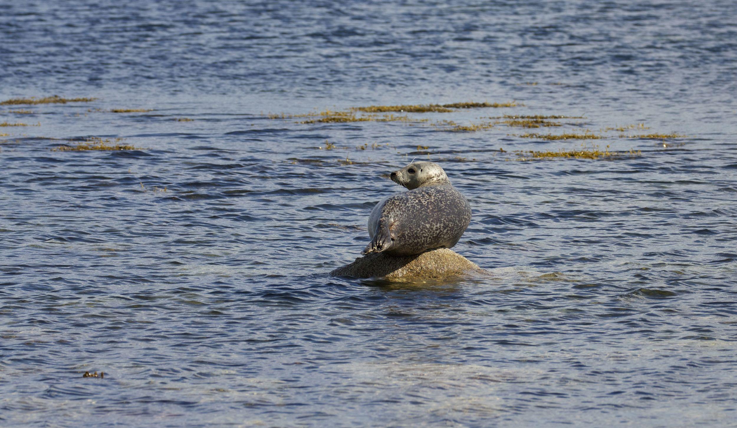 Common Seal,Isle of Arran, Scotland