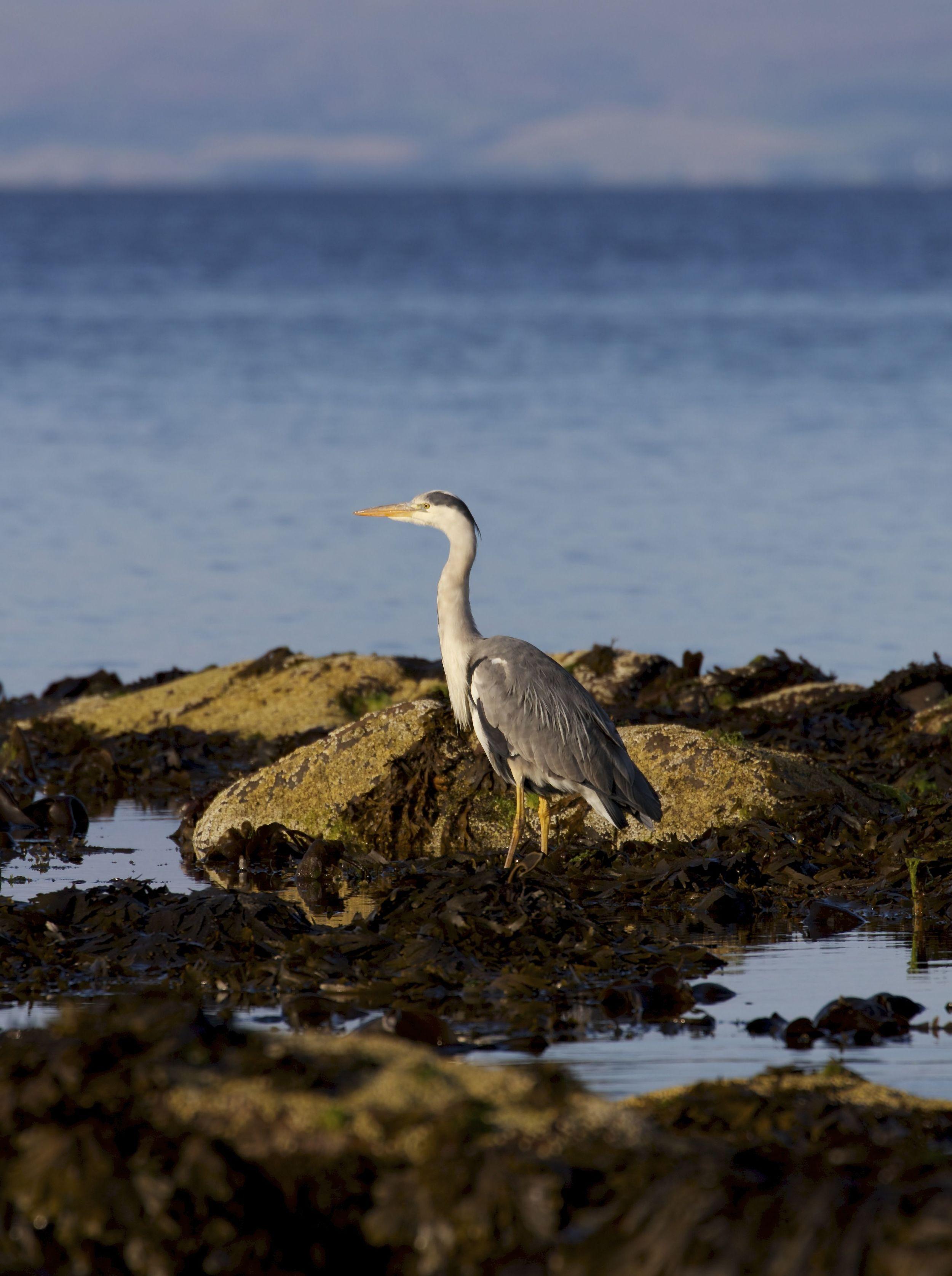 Grey Heron,Isle of Arran, Scotland
