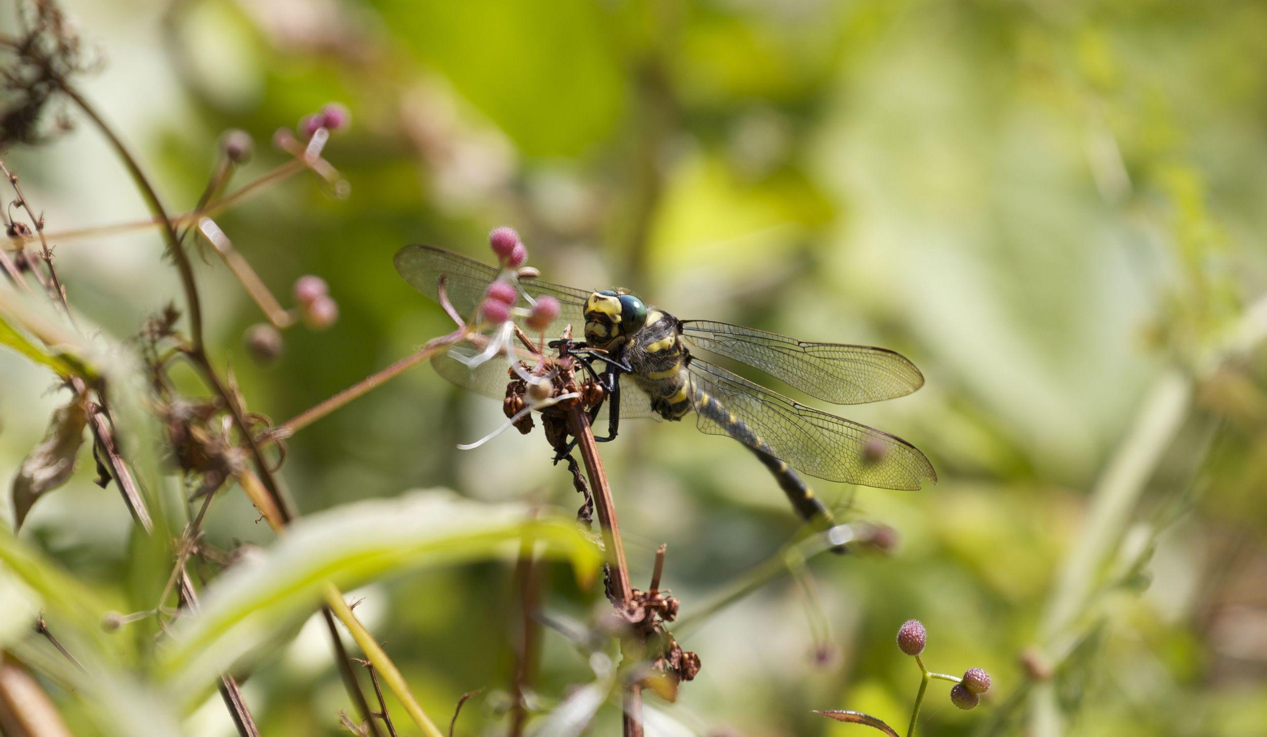 Dragonfly,Isle of Arran, Scotland